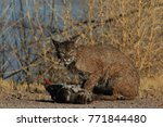 bobcat lynx rufus bosque del...   Shutterstock . vector #771844480