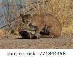 bobcat lynx rufus bosque del...   Shutterstock . vector #771844498