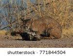 bobcat lynx rufus bosque del...   Shutterstock . vector #771844504