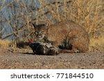 bobcat lynx rufus bosque del...   Shutterstock . vector #771844510