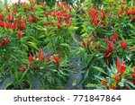 chilli peppers  fresh chilli... | Shutterstock . vector #771847864