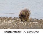 wet north american porcupine... | Shutterstock . vector #771898090