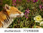 red fox smelling spring flowers ... | Shutterstock . vector #771908308