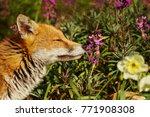 Red Fox Smelling Spring Flower...