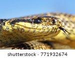 macro portrait of blotched... | Shutterstock . vector #771932674