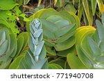 Cotyledon Plant Bearing Stem