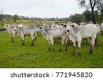 Cattle Raising In Mato Grosso...