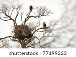 Nest Of American Bald Eagles...