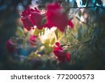 Stock photo beautiful red roses against sunset light at summer garden 772000573