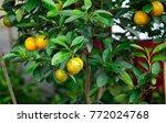 calamondin or citrus microcarpa.... | Shutterstock . vector #772024768