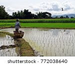 Small photo of The farmer trow rice sprouts prepare for planting.