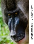 Small photo of Portrait of large drill monkey alpha male in rain forest of Nigeria