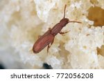 the sawtoothed grain beetle... | Shutterstock . vector #772056208