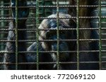 portrait of sad looking chimp... | Shutterstock . vector #772069120