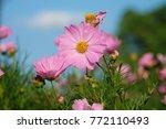 soft focus pink cosmos flowers... | Shutterstock . vector #772110493