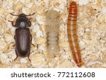larva pupa and beetle of... | Shutterstock . vector #772112608