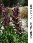 Small photo of Acanthus Syriaca flowers in Mediterranean meadow