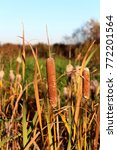 Small photo of Cattail, Typha, bulrush plants with spikes and partially brown leaves with green grass background on warm sunny day