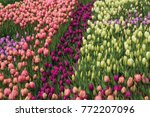 spring field of multi colored...   Shutterstock . vector #772207096