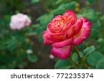 Stock photo new york city garden red rose flower with water drops on green grass background nyc city park 772235374