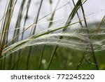 close up of feather grass | Shutterstock . vector #772245220