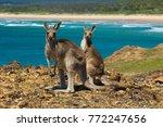 Two Kangaroos On The Australian ...