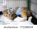 cat after surgery with bandage... | Shutterstock . vector #772288549