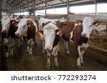 dairy cows of monbeliard... | Shutterstock . vector #772293274