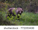 grizzly bear watching | Shutterstock . vector #772353430
