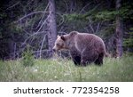 grizzly bear pooping | Shutterstock . vector #772354258