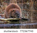 Big Beaver In A River Outlet...