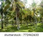 Coconut Palm Trees. Coconut...