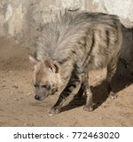 striped hyena  hyaena hyaena  | Shutterstock . vector #772463020
