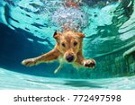 Stock photo underwater funny photo of golden labrador retriever puppy in swimming pool play with fun jumping 772497598