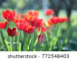 multi colored tulips on the... | Shutterstock . vector #772548403