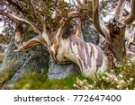 A Dramatic Old Hardy Snow Gum...
