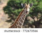 giraffe in the kalahari desert | Shutterstock . vector #772673566