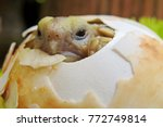 cute baby tortoise hatching on... | Shutterstock . vector #772749814