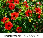 Red Hibiscus Flowers  China...