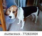 beagle dog with elizabethan