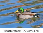 Bird Mallard Duck In Lake