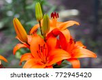 flowers of a lily. beautiful... | Shutterstock . vector #772945420