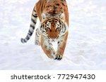 Close Wild Siberian Tiger In...