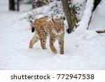beautiful wild lynx in winter...   Shutterstock . vector #772947538