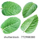 four spearmint leaves or mint...   Shutterstock . vector #772988380