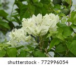 Small photo of Bougainvillea white flowers and green leaves. This tree also known as Santa Rira, buganvilla.