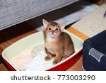 Small photo of Funny Abyssinian kitten during accustoming to the cat tray.