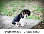 Stock photo beagle puppy playing outdoors 773015350