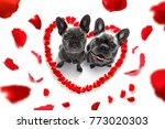 couple of french bulldog  dogs... | Shutterstock . vector #773020303