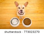 hungry  chihuahua podenco dog... | Shutterstock . vector #773023270